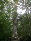 King Edward V11 Big Tree outside Knysna