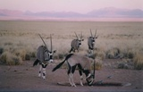 Oryx at water hole directly at house
