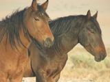 Wild Horses Of Aus