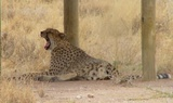 Cheetah under shade