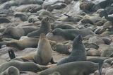 There are thousands of seal at the reserve