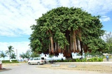 Huge wild fig tree