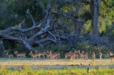 A nice herd of Impala