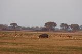 Hippo on Busanga Plains