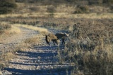 Bat-eared Fox on Khiding Pan