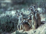 Meerkats at Khiding Pan