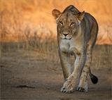 Lioness Polenswa