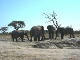 Savuti Elephants