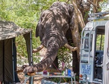 Elephant at Savuti Camp