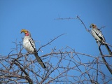 Yellow billed hornbill in Etosha