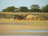 Hartebeest in Etosha