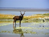 A proud Kudu bull drinking water from a pan