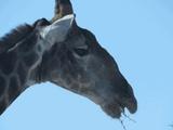 A giraffe in Etosha