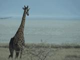A giraffe heading towards the Pan