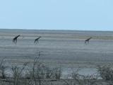 Giraffe crossing the pan