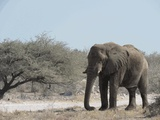 An Etosha Elephant