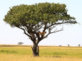 A lion in a tree on the Serengeti Plains