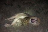 Lion on night game drive