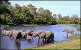 Big herd in Savuti
