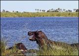 Hippo Savuti