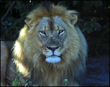 Hwange lion