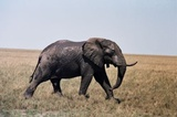 Elephant on edge of Fishers Pan Etosha