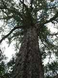 Outeniqua Yellowwood. Approx 880 years old